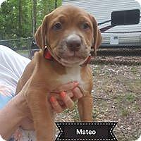 Adopt A Pet :: Mateo - Concord, NH