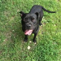 American Pit Bull Terrier Mix Dog for adoption in BATH, New York - Opie