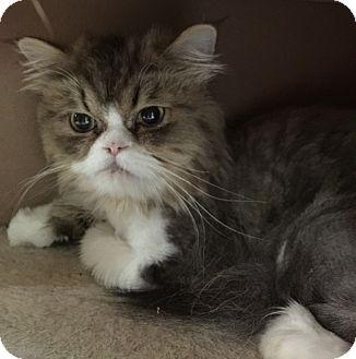 Persian Cat for adoption in Witter, Arkansas - Easel (pure-bred Persian)