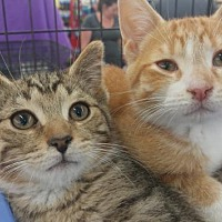 Adopt A Pet :: Jack Daniels - Sterling Heights, MI