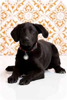 Labrador Retriever/Basset Hound Mix Dog for adoption in Portland, Oregon - Farkell