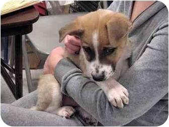 Collie/Akita Mix Puppy for adoption in tucson, Arizona - Chester