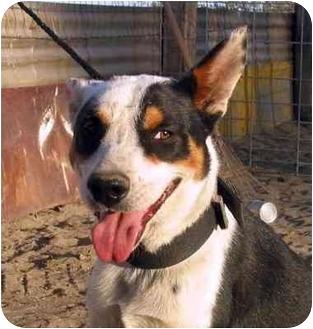 Australian Kelpie Mix Dog for adoption in San Pedro, California - RAZZIE