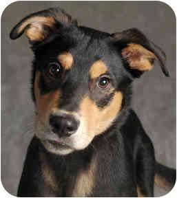 Doberman Pinscher/Shepherd (Unknown Type) Mix Puppy for adoption in Chicago, Illinois - Archie