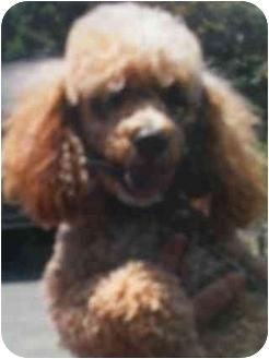Poodle (Miniature) Dog for adoption in Kingsburg, California - Harley