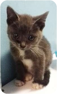 Domestic Shorthair Kitten for adoption in Union, New Jersey - Spirit - Pending