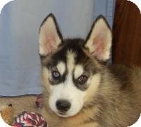 Husky Puppy for adoption in Antioch, Illinois - Hobi