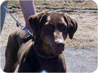Doberman Pinscher Dog for adoption in Burnsville, North Carolina - Brandy