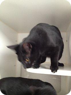 Domestic Shorthair Cat for adoption in Laguna Woods, California - Romeo