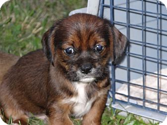 Shih Tzu/Dachshund Mix Puppy for adoption in Wilminton, Delaware - Keith