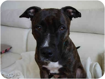 American Staffordshire Terrier/Cattle Dog Mix Dog for adoption in New York, New York - Styles
