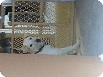 Labrador Retriever/Carolina Dog Mix Puppy for adoption in Hampton, Virginia - Ice