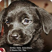Adopt A Pet :: Simba - Poughkeepsie, NY