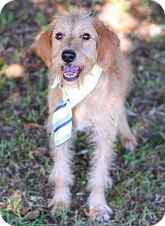 Terrier (Unknown Type, Medium) Mix Dog for adoption in Glastonbury, Connecticut - Beauregard