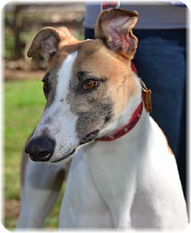 Greyhound Dog for adoption in Harrisburg, Pennsylvania - Riddle