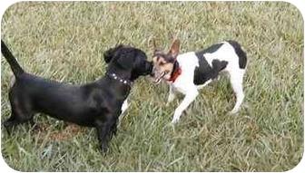 Dachshund Mix Dog for adoption in Cocoa, Florida - Star