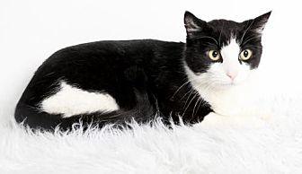 Domestic Shorthair Cat for adoption in Roseville, California - Monster
