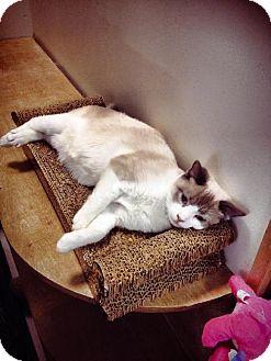 Snowshoe Cat for adoption in Columbus, Ohio - Skywalker
