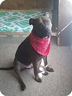 American Pit Bull Terrier Dog for adoption in Ocala, Florida - Corvo