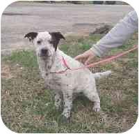 Australian Cattle Dog/Blue Heeler Mix Dog for adoption in Salem, New Hampshire - Patches