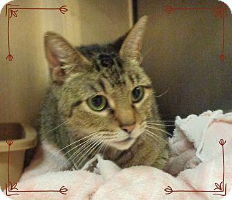Domestic Shorthair Cat for adoption in Marietta, Georgia - SCARLETT