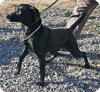 Labrador Retriever Mix Dog for adoption in Beebe, Arkansas - Suzie Q