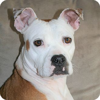 Boxer/Boston Terrier Mix Dog for adoption in Plainfield, Connecticut - LILY