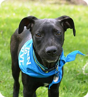 German Shorthaired Pointer/Labrador Retriever Mix Dog for adoption in PORTLAND, Maine - Louis