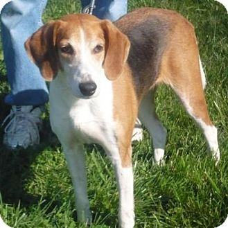 Foxhound/Treeing Walker Coonhound Mix Dog for adoption in Mineral, Virginia - Chelsea Bell