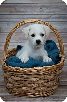 Wirehaired Fox Terrier Mix Puppy for adoption in Elgin, Illinois - Bentley