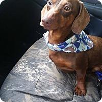 Adopt A Pet :: Curtis - New Oxford, PA