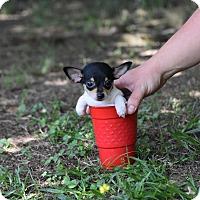 Adopt A Pet :: Tulip - South Dennis, MA