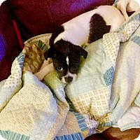 Adopt A Pet :: Bailey - Pembroke pInes, FL