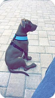 Pit Bull Terrier Mix Puppy for adoption in Baltimore, Maryland - Luna (COURTESY POST)