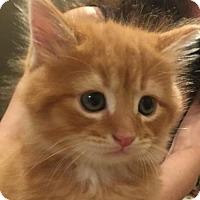 Adopt A Pet :: Groot - Herndon, VA