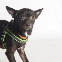 Chihuahua Mix Dog for adoption in Savannah, Georgia - Mac