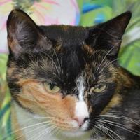 Adopt A Pet :: Cali - Englewood, FL