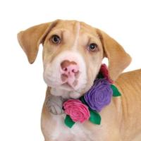 Adopt A Pet :: Lacey - Chico, CA