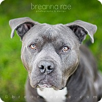 American Staffordshire Terrier Mix Dog for adoption in Sheboygan, Wisconsin - McDermott