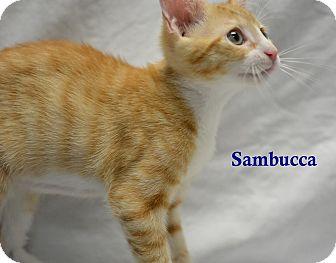 Domestic Shorthair Kitten for adoption in Miami Shores, Florida - Sambucca