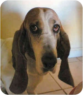 Basset Hound Dog for adoption in Phoenix, Arizona - Maribelle