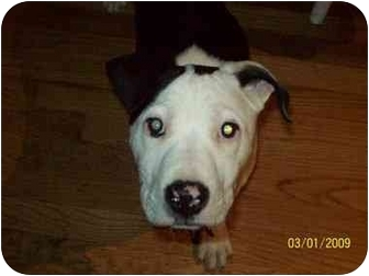 American Pit Bull Terrier Puppy for adoption in Oak Lawn, Illinois - Petey