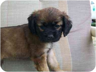 Pug/Cocker Spaniel Mix Puppy for adoption in Macclenny, Florida - ADOPT ME!
