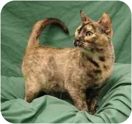 Domestic Shorthair Cat for adoption in Sacramento, California - Kit Kat