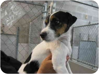 Jack Russell Terrier Mix Dog for adoption in Grants Pass, Oregon - Buster