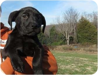 Labrador Retriever Mix Puppy for adoption in Westbrook, Connecticut - Brodie