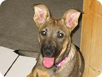German Shepherd Dog Mix Puppy for adoption in Torrance, California - Nikki