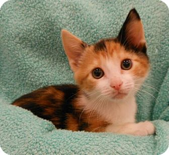 Domestic Shorthair Kitten for adoption in Reston, Virginia - Lady Emma