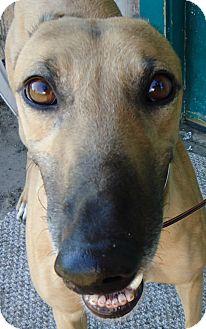 Greyhound Dog for adoption in Longwood, Florida - Vonig