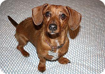 Dachshund/Yorkie, Yorkshire Terrier Mix Dog for adoption in Yorba Linda, California - Belle